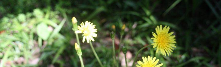 アトリエ庭に咲く花。
